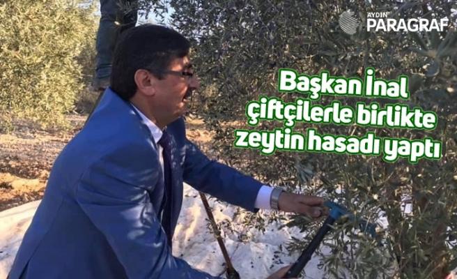 Başkan İnal çiftçilerle birlikte zeytin hasadı yaptı