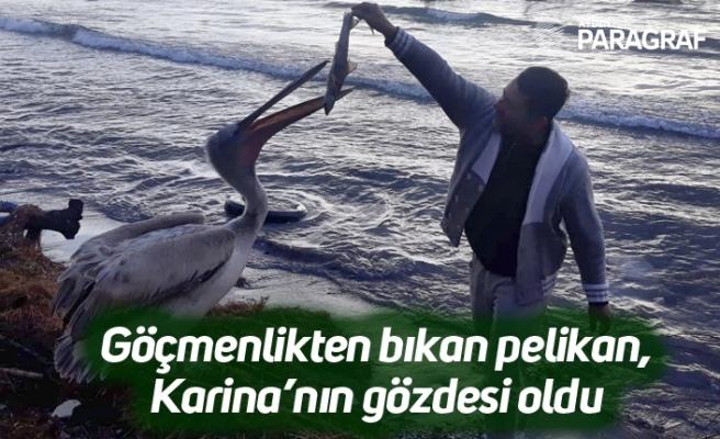 Göçmenlikten bıkan pelikan, Karina'nın gözdesi oldu