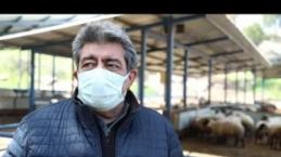 Çine çaparı koyunları artık emin ellerde