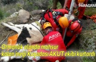 Ormanlık alanda mahsur kalan ineği Kuşadası AKUT...