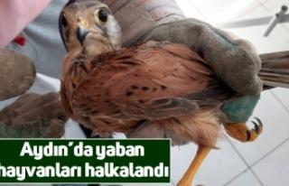Aydın'da yaban hayvanları halkalandı