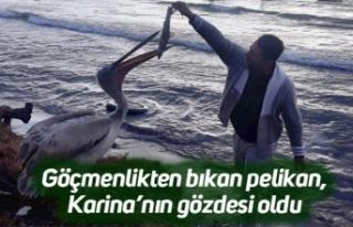 Göçmenlikten bıkan pelikan, Karina'nın gözdesi...