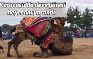 Karacasu'da deve güreşi heyecanı yaşandı