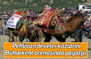 Pehlivan develer kozlarını Buharkent arenasında...