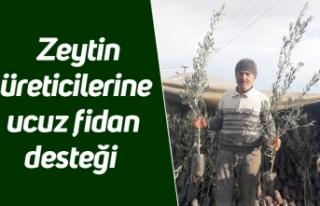 Zeytin üreticilerine ucuz fidan desteği