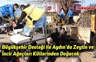 Büyükşehir Desteği ile Aydın'da Zeytin ve İncir...