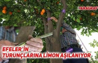Efeler'in turunçlarına limon aşılanıyor