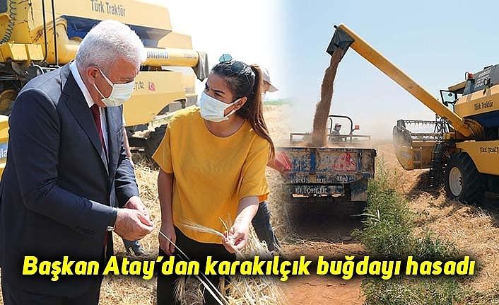 Başkan Atay'dan karakılçık buğdayı hasadı