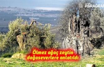 Ölmez ağaç zeytin doğaseverlere anlatıldı