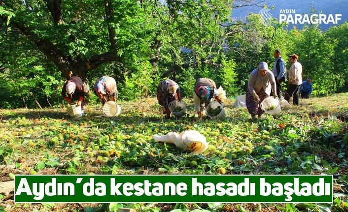 Aydın'da kestane hasadı başladı